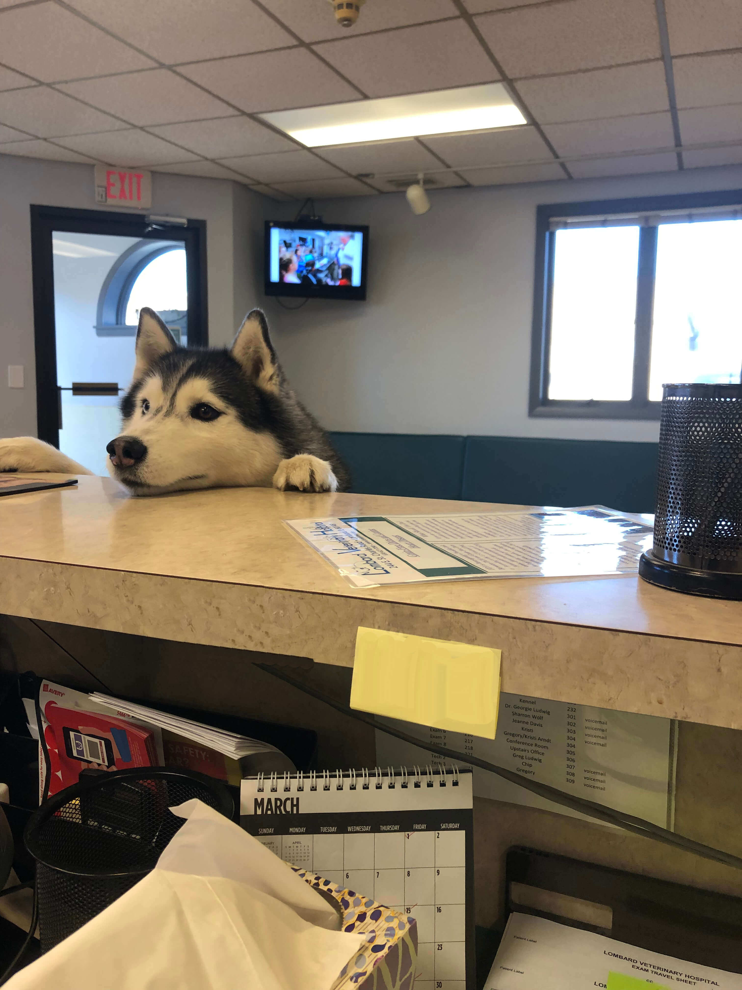 Dog Checking in at Lombard Veterinary Hospital